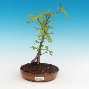 Outdoor bonsai-Quercus robur-Summer oak