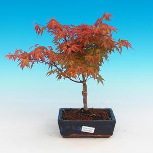 Outdoor Bonsai - Acer palmatum Beni Tsucasa - Japanese Maple