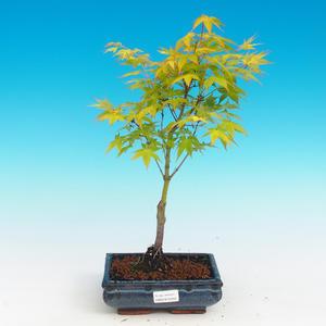 Outdoor bonsai - Acer palmatum Aureum - Golden Japanese Maple