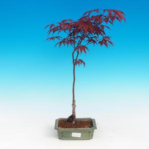 Outdoor bonsai - Acer palm. Atropurpureum - Japanese Maple Red