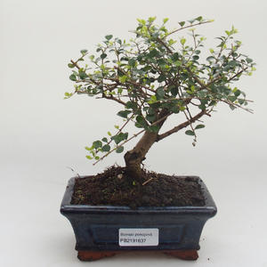 Indoor bonsai -Ligustrum retusa - Privet PB2191637