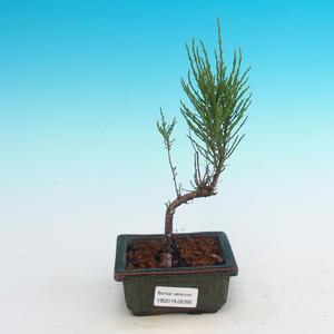Outdoor bonsai - Tamaris parviflora