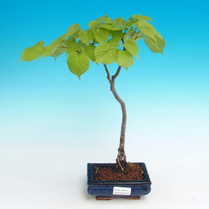 Outdoor bonsai - Small-leaved lime