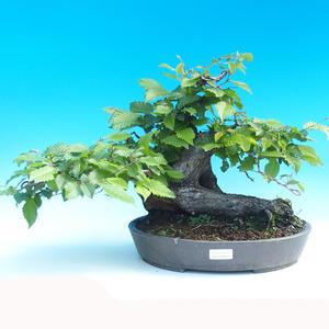 Outdoor bonsai - Hornbeam