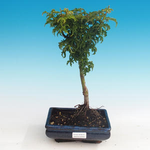 Outdoor bonsai - Acer palmatum SHISHIGASHIRA- Lesser maple