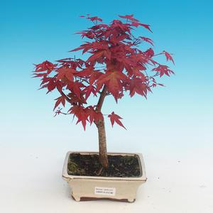Outdoor bonsai - maple palmatum DESHOJO - Maple dlanitolistý