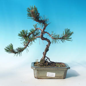 Outdoor bonsai - Pinus mugo Humpy - Pine Pine