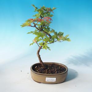 Outdoor bonsai-Acer campestre-maple maple