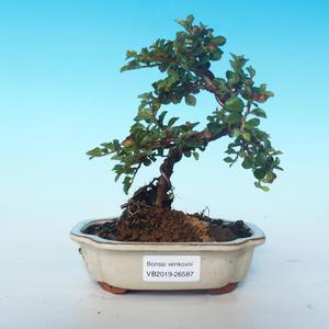 Outdoor bonsai-Cotoneaster horizontalis-Cotoneaster