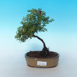 Outdoor bonsai-cinquefoil - Dasiphora fruticosa yellow