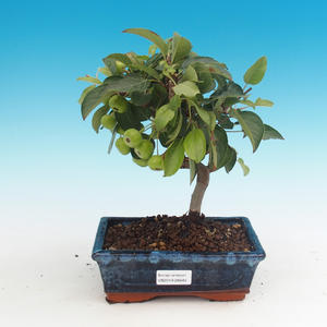 Outdoor bonsai -Malus Halliana - fruited apple