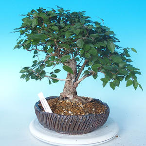 Outdoor bonsai -Carpinus CARPINOIDES - Korean Hornbeam