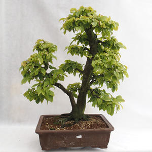 Outdoor bonsai - Hornbeam - Carpinus betulus VB2019-26689