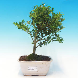 Room bonsai - Ilex crenata - Holly