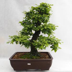 Outdoor bonsai - Hornbeam - Carpinus betulus VB2019-26690