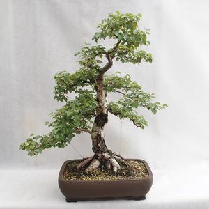 Outdoor bonsai - Betula verrucosa - Silver Birch VB2019-26695