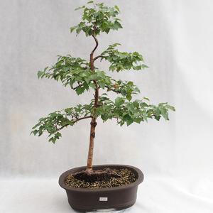 Outdoor bonsai - Betula verrucosa - Silver Birch VB2019-26696
