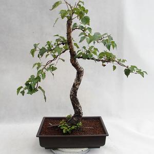 Outdoor bonsai - Betula verrucosa - Silver Birch VB2019-26697