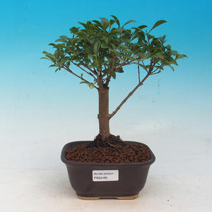Room Bonsai - Australian cherry - Eugenia uniflora