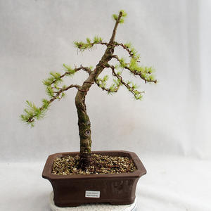 Outdoor bonsai -Larix decidua - European larch VB2019-26702
