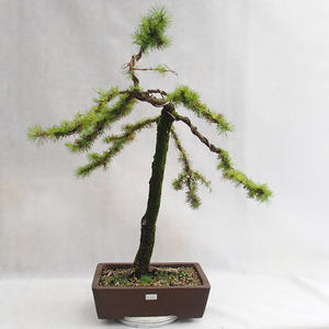 Outdoor bonsai -Larix decidua - European larch VB2019-26704