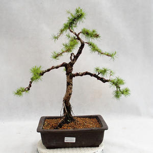 Outdoor bonsai -Larix decidua - European larch VB2019-26707
