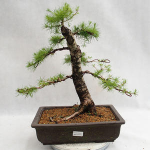 Outdoor bonsai -Larix decidua - European larch VB2019-26708