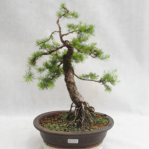 Outdoor bonsai -Larix decidua - European larch VB2019-26709