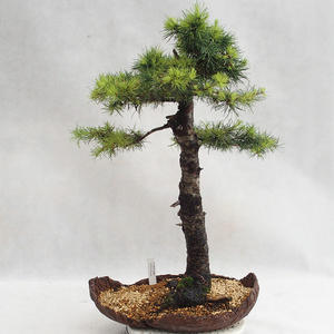 Outdoor bonsai -Larix decidua - European larch VB2019-26710