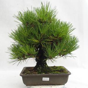 Outdoor bonsai - Pinus thunbergii Corticosa - Thunberg's pine VB2019-26712
