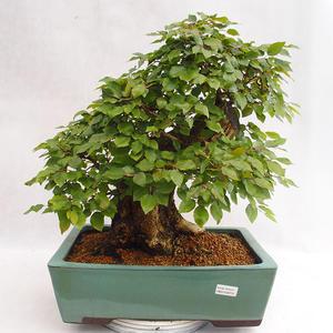 Outdoor bonsai - Korean hornbeam - Carpinus carpinoides VB2019-26715