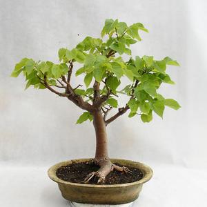 Outdoor bonsai - Heart-shaped lime - Tilia cordata 404-VB2019-26717