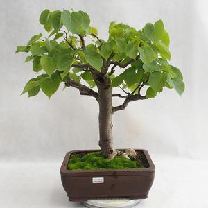 Outdoor bonsai - Heart-shaped lime - Tilia cordata 404-VB2019-26718