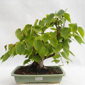 Outdoor bonsai - Heart-shaped lime - Tilia cordata 404-VB2019-26719