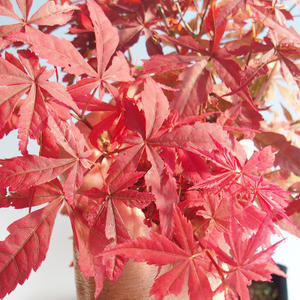 Outdoor bonsai - Acer palm. Atropurpureum-Japanese Maple Red 408-VB2019-26725