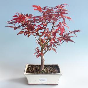 Outdoor bonsai - Acer palm. Atropurpureum-Japanese Maple 408-VB2019-26727