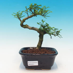 Room bonsai - Zantoxylum piperitum - kava
