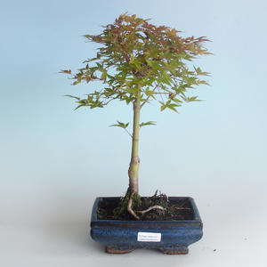 Outdoor bonsai - Acer palmatum Beni Tsucasa - Japanese Maple 408-VB2019-26731