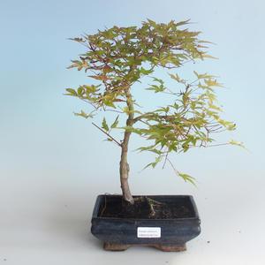 Outdoor bonsai - Acer palmatum Beni Tsucasa - Japanese Maple 408-VB2019-26734