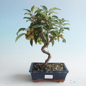 Outdoor bonsai - Malus halliana - Small Apple 408-VB2019-26749