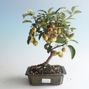 Outdoor bonsai - Malus halliana - Small Apple 408-VB2019-26750