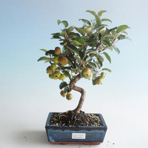 Outdoor bonsai - Malus halliana - Small Apple 408-VB2019-26751