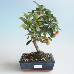 Outdoor bonsai - Malus halliana - Small Apple 408-VB2019-26753