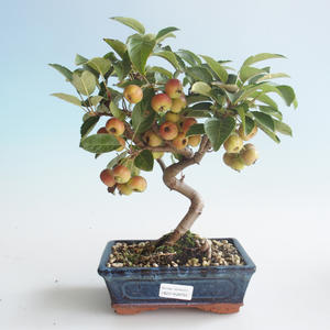 Outdoor bonsai - Malus halliana - Small Apple 408-VB2019-26754