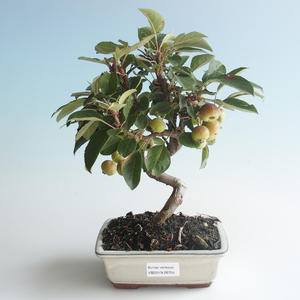 Outdoor bonsai - Malus halliana - Small Apple 408-VB2019-26755