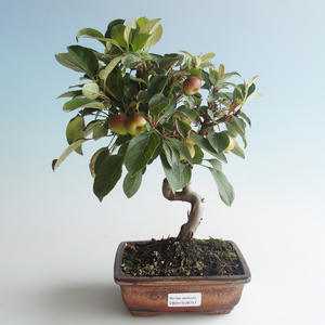 Outdoor bonsai - Malus halliana - Small Apple 408-VB2019-26757