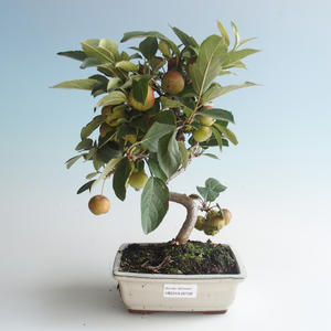 Outdoor bonsai - Malus halliana - Small Apple 408-VB2019-26758