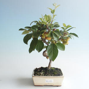Outdoor bonsai - Malus halliana - Small Apple 408-VB2019-26759