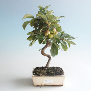 Outdoor bonsai - Malus halliana - Small Apple 408-VB2019-26760