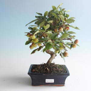 Outdoor bonsai - Malus halliana - Small Apple 408-VB2019-26765